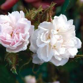 Rosier ancien - Quatre Saisons Blanc Mousseux