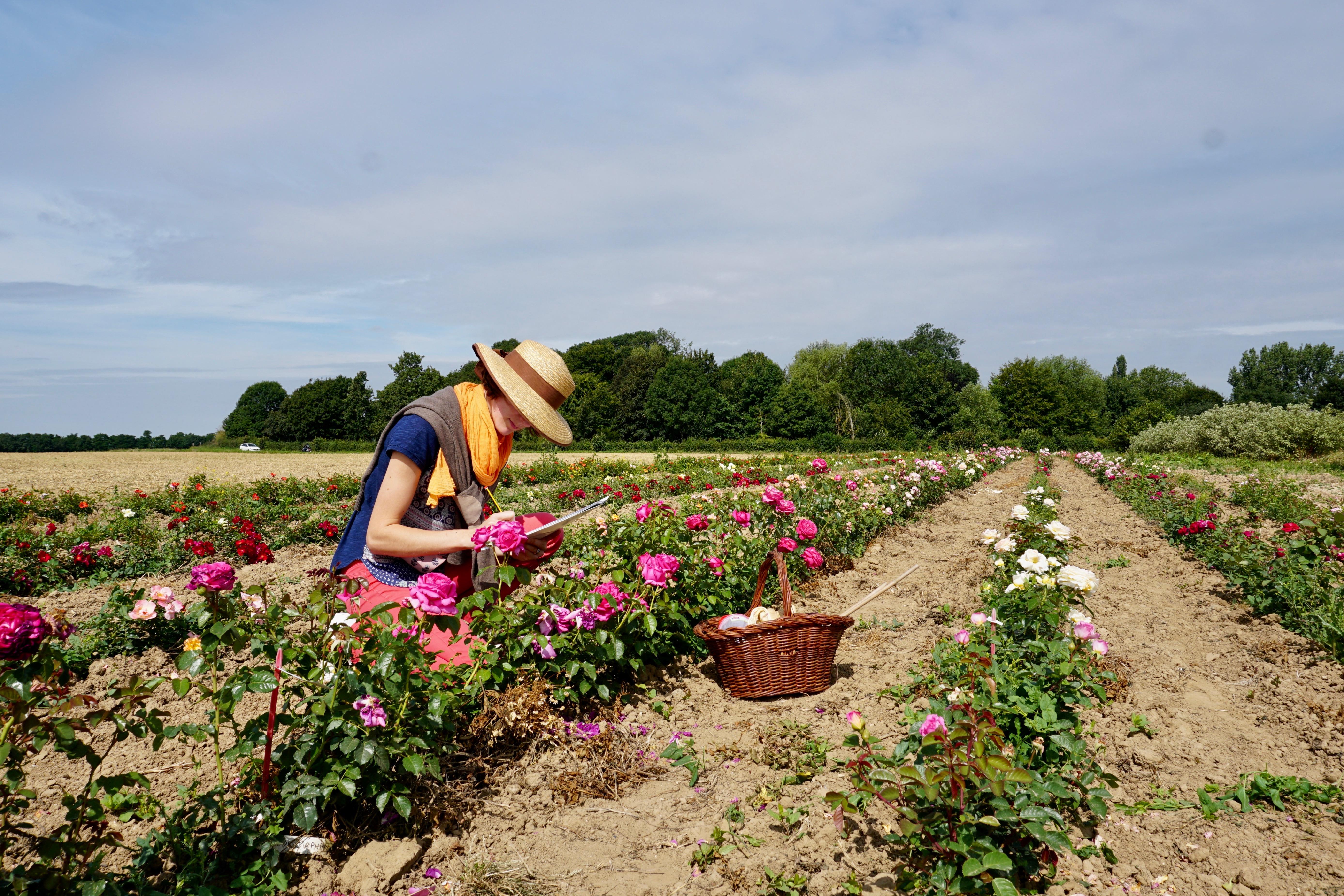 Notation des rosiers en champs - Roseraie Guillot