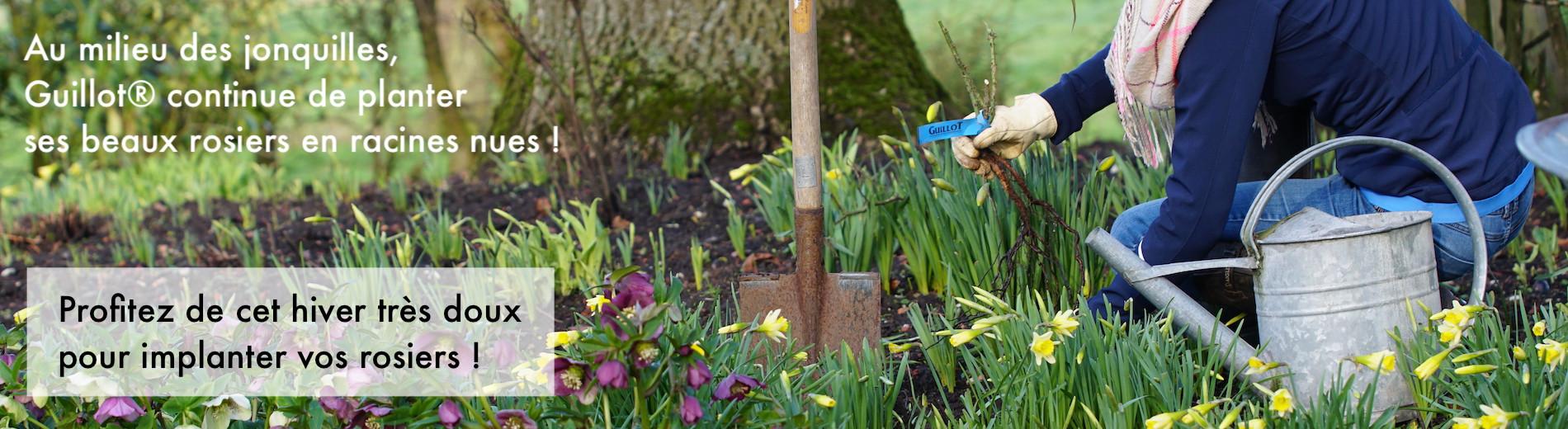 C'est le moment idéal pour planter des rosiers racines nues !
