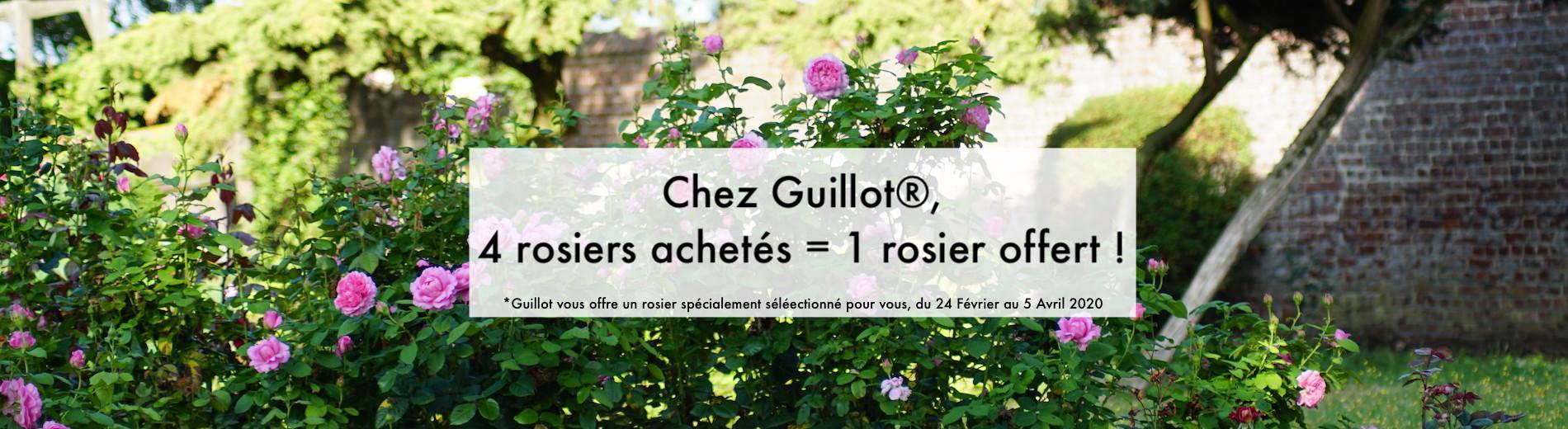 Un rosier spécialement sélectionné par Guillot !